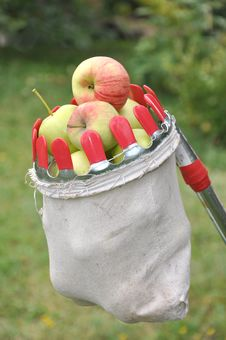 Free Apples In A Bag For Removal From A Tree Royalty Free Stock Photos - 20818938