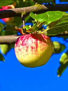 Free Ripe Apple Hanging On The Apple Royalty Free Stock Photo - 20819815