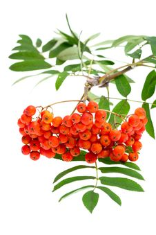Rowan Berries And Leaves Royalty Free Stock Images