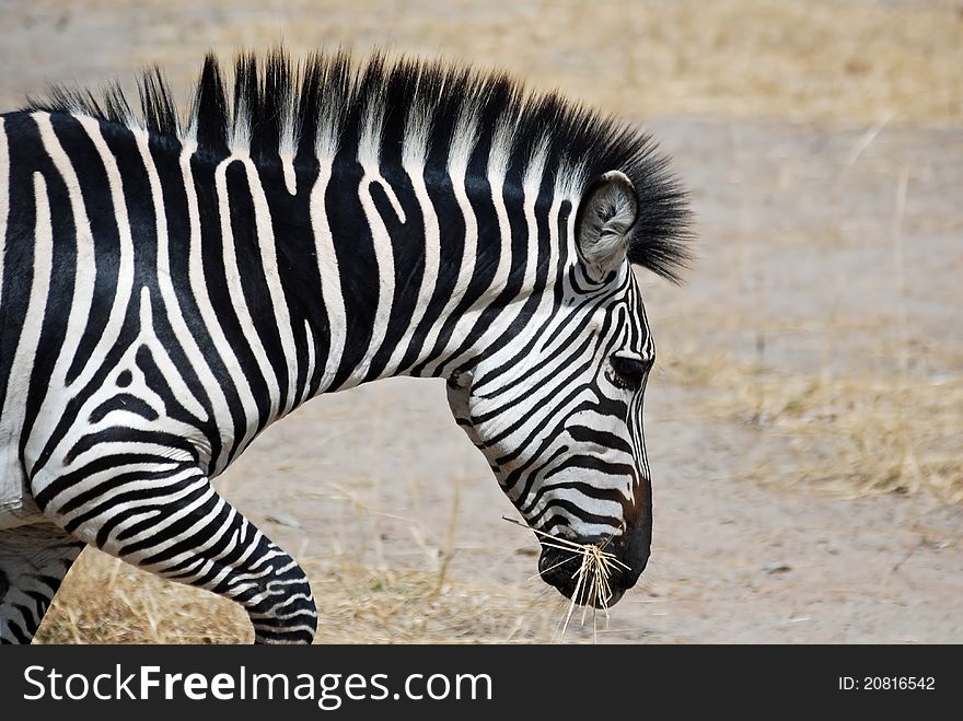 Plain Zebra head - Wildlife Tanzania - with dry grass in mouth