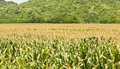 Free Agricultural Landscape Of Corn Stock Photography - 20824742