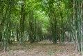 Free Bamboo Trees Stock Photography - 20824812