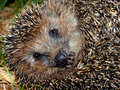 Free Muzzle Of A Hedgehog Royalty Free Stock Photo - 20827715