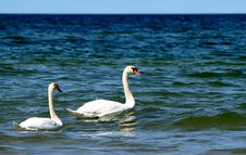 Free A Swan Couple Royalty Free Stock Photo - 20820575