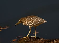 Free Night Heron (Nycticorax Nycticorax) Royalty Free Stock Images - 20821409