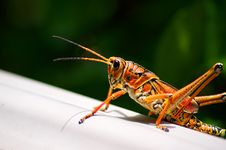 Toxic Orange Eastern Lubber Grasshopper Royalty Free Stock Image
