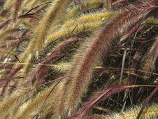 Free Setaria Italica Red Jewel - Red Bristle Grass Stock Photos - 20823173