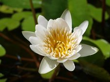 Free White Water Lily Royalty Free Stock Photos - 20823528