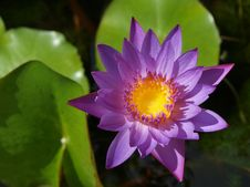 Free Purple Waterlily Stock Photography - 20823862