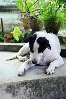 Free White Dog Royalty Free Stock Images - 20825429