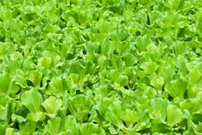 Free Floating Green Plants In A Pond Stock Images - 20825904