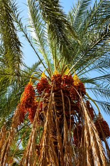 Free Date Palm. Royalty Free Stock Image - 20825906