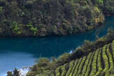 Free Tea Field And River Royalty Free Stock Image - 20826996