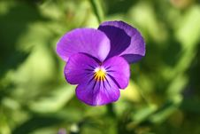 Free Pansy Flower Royalty Free Stock Image - 20827116