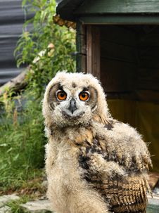 Free Owl Stock Image - 20827301