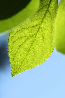 Free Green Leaf Royalty Free Stock Photography - 20827347