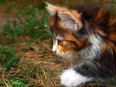 Hunting Kitten Close Up Royalty Free Stock Image