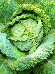 Free Savoy Cabbage Stock Photography - 20827652