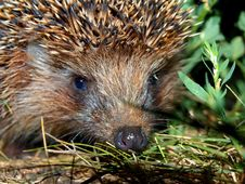 Free Muzzle Of A Hedgehog Stock Images - 20827664