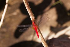 Free Red Dragonfly Royalty Free Stock Photos - 20827748