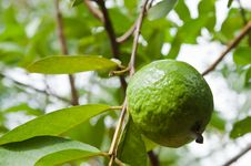 Free Guava On Tree Stock Images - 20827784