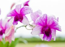 Free Beautiful Purple Orchid Royalty Free Stock Photography - 20827807