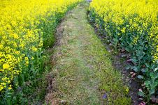 Free Path Through Oilseed Blossom Royalty Free Stock Images - 20828329