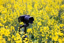 Free Camera In Oilseed Blossom Field Stock Photo - 20828380