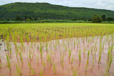 Paddy And The Rice Seedlings Stock Photography