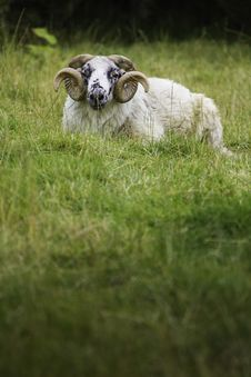 Free Lazy Sheep Stock Photography - 20829732