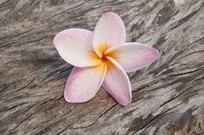 Free Frangipani Flowers Royalty Free Stock Photography - 20829987