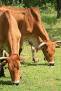 Free Two Brown Cows Eat Grass Stock Photo - 20832570