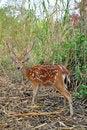 Free Sika Deer Royalty Free Stock Photos - 20833108