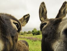 Free Two Donkeys Stock Image - 20830301