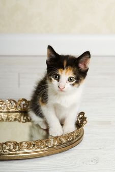 Free Calico Kitten Stock Image - 20830721