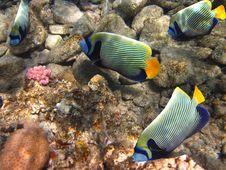 Free Angelfish Stock Image - 20831331