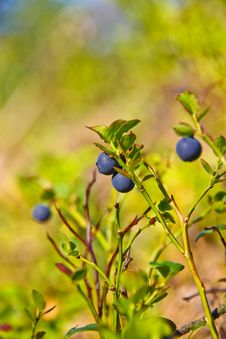 Free Blue Berries In The Forest Stock Photo - 20832200