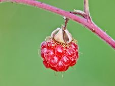 Free Raspberry Royalty Free Stock Photos - 20832208