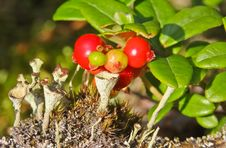Free Cranberries Wild In The Forest Royalty Free Stock Images - 20832219