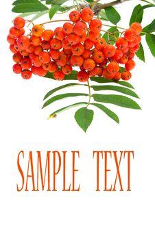 Rowan Berries And Leaves Stock Photo