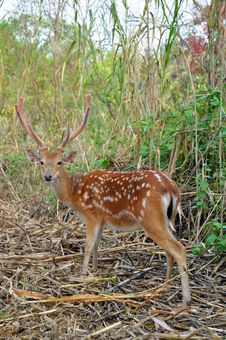 Free Sika Deer Royalty Free Stock Photos - 20833108