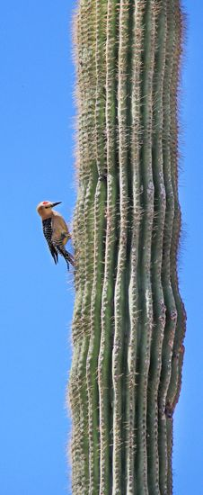 Free Desert Cactus Pecker Royalty Free Stock Photo - 20833985