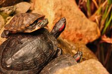 Free A Trio Of Turtles Royalty Free Stock Photography - 20834387