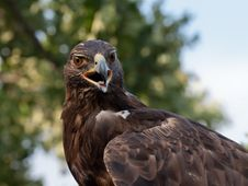 Free Golden Eagle Stock Image - 20834911