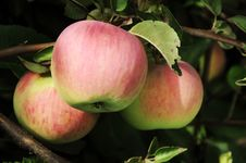 Free Apples On Branch Stock Photography - 20834992