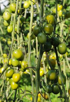 Free Tomatoes Green Stock Photography - 20835032