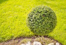 Ball Form Tree In The Garden Stock Image
