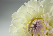 Free Beautiful White Dahlia Flower, Close Up Stock Images - 20835954