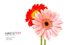 Free Pink And Red Chrysanthemum Flower Stock Photo - 20836120