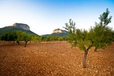 Free Spanish Trees Under The Sun Royalty Free Stock Photo - 20836145